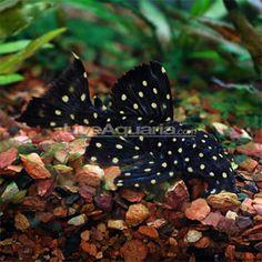 Pseudoacanthicus Angelicus Pleco Information Tropical Aquarium, Tropical Fish, Aquarium Fish, Pleco Fish, Dwarf Frogs, Plecostomus, Fish Breeding, Koi Carp, Water Life