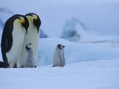 Emperoro Penguins with chicks, Antarctica --- Photo by Cornelia Braun