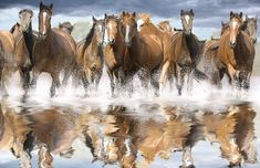 The wild horses used to live in large areas of Europe, North America and Asia, but the increasing interest of humans for this animal made it almost extinct.