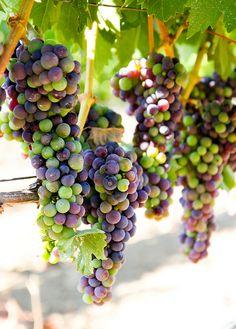 Envero es el término que indica la fase del ciclo de maduración de la uva en la que se produce un cambio de color. Las variedades tintas se tornan rojas y azuladas, mientras que las blancas se vuelven rubias o amarillas.