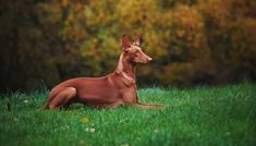 These dogs are known for their rabbit hunting skills, but the Pharaoh Hound Dog is also an ideal dog for owners looking for an active companion. Collages, Healthiest Dog Breeds, Hound Dog Breeds, Most Expensive Dog, Miniature Bull Terrier, Black Russian Terrier, Ibizan Hound, Hairless Dog, Lakeland Terrier