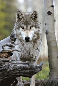 Los lobos tratan de evitar a los humanos todo lo que pueden. No implican daño y sin embargo son dañados por el hombre.
