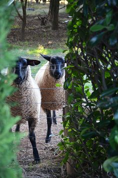 Black-faced Suffolk sheep at Blue Rock, a 100 acre commercial stud farm in Romsey owned and run by Mark Clement and Deva Weitman. Photo/Production: Danielle White/The Countryphiles.