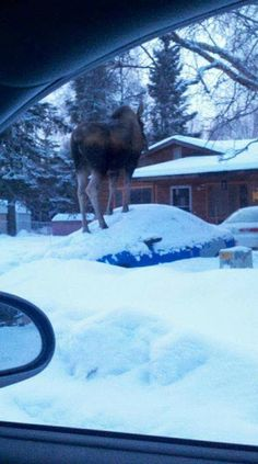 This is not a photo shopped picture! It was taken just a few days ago by a guy who lives in Alaska. I will never complain about the local cats again! :) hunny, the moose is one the car again! Moose Pictures, Animal Pictures, Jake From State Farm, Funny Animals, Cute Animals, Wild Animals, Fairbanks Alaska, Living In Alaska, All Gods Creatures