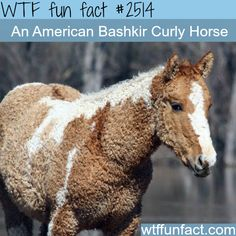 Pictures of Curly Horse, American Bashkir -WTF funfacts