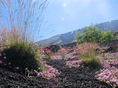 Parco Etna. Is it Saponaria?....