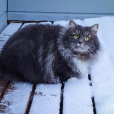 Cat  in Snow........