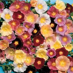 ORDERED 3-12-16 Happy Lights Hollyhock Mix Seeds  http://parkseed.com/happy-lights-hollyhock-mix-seeds/p/00992-PK-P1/