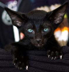 """* * EBONY SIAMESE: """" Yer mind wills answer most questions if yoo relax and wait. Soes far, der hasn'ts been any answer if me shoulds haz me claws trimmed. Me thinks me needs me teef filed too. Heh."""""""