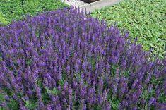 Salvia nemorosa 'April Night'pbr | Willaert Boomkwekerij Night