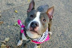 SAFE!!!!! MINI - A1096026 - - Manhattan  Please Share:TO BE DESTROYED 11/15/16: ****PUBLIC ADOPTABLE**** -  Click for info & Current Status: http://nycdogs.urgentpodr.org/mini-a1096026/