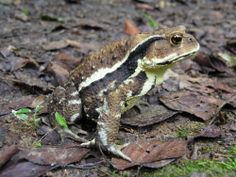 Japanese Toad