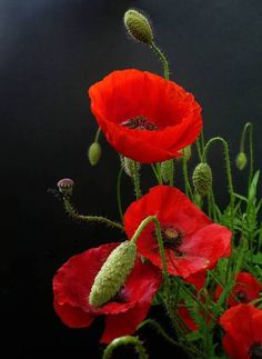Red poppies on black background