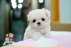 maltese teacup puppies for sale Teacup Puppies For Sale, Tiny Puppies, Cute Puppies, Cute Dogs, Baby Maltese, Maltese Dogs, Teacup Maltese, Teacup Pomeranian, Teacup Dogs