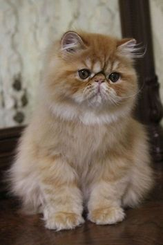 Healthy and Purebred Persian Cats & Kittens for sale in India Get healthy and purebred Persian kittens for sale Persian cats for adoption. Kittens And Puppies, Cute Cats And Kittens, Cool Cats, Kittens Cutest, Persian Kittens For Sale, Kitten For Sale, Pretty Cats, Beautiful Cats, Himalaya