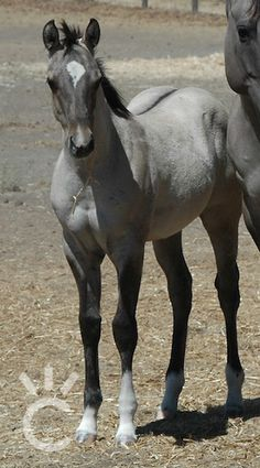 AQHA grulla colt Reeds Poco Vandyke x Blissfully Charmed Most Beautiful Horses, All The Pretty Horses, Animals Beautiful, Beautiful Babies, Appaloosa, Grulla Horse, Baby Horses, Cute Horses, Clydesdale