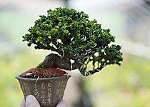 Más imagenes en http://www.bonsaiempire.es/galeria/shohin