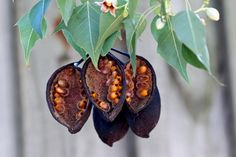 Brachychiton populneus, Kurrajong | Fruit and seeds. Fam : … | Flickr - Photo Sharing!