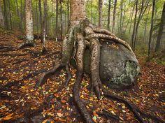 Yellow Birch, Adirondacks    Photograph by Michael Melford, National Geographic