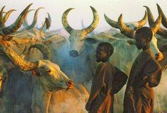 Kuri-Rinder cattle from the Buduma Area of West Africa