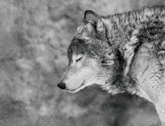 A black and white image of a wolf standing in the falling snow with its eyes closed.
