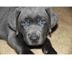 For dad-- apparently there is such a thing as a gray labrador.  So cute