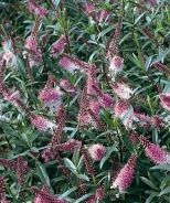 shrub: Great Orme Hebe hardy to zone 6 l/a glue gem and sutherland that are 6 hardy as well :-)