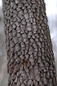 American Persimmon - Persimmon is a deciduous tree with distinctive dark thick bark typically broken into small squarish blocks.  When young, the bark is lighter brown with pale fissures.