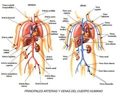 Mapa de venas y arterias del cuerpo humano