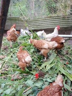 Raising chickens? Feed them these herbs for health: garlic & onion; chickweed; dandelion; fennel; wormwood; rue; cleavers; mint; cress; marigold; vervain; comfrey; mullein root; thyme; marjoram; sage; nasturtium; mugwort; goat's rue;  gotu kola; parsley. (Don't worry about amounts – chickens will eat only what they need.)