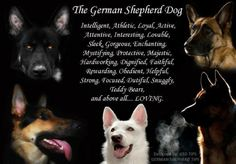 The German Shepherd Dog. Intelligent, Athletic, Loyal, Active, Attentive, Interesting, Loveable, Sleek, Gorgeous, Enchanting, Mystifying, Protective, Majestic, Hardworking, Dignified, Faithful, Rewarding, Obedient, Helpful, Strong, Focused, Dutiful, Snuggly, Teddy Bears, and above all... LOVING. http://www.sweetshepherdrescue.com.au/