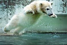 El bebé de oso polar Anori, en Wuppertal (Alemania) salta a la piscina. Nació el 4 de enero de 2012.