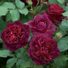 Munstead Wood - David Austin Roses