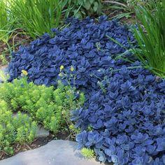 Garden Shrubs, Succulents Garden, Garden Landscaping, Planting Flowers, Garden Planters, Sedum Plant, Blue Garden, Hardy Plants, Xeriscaping