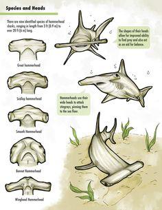 Hammerhead Shark head details for science project Orcas, Marine Biology, Great White Shark, Animal Facts, Ocean Creatures, Shark Week, Sea World, Ocean Life, Marine Life