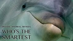 NOVA | Inside Animal Minds -  Animal Minds: Smartest Explore the social lives of some of the smartest animals on the planet. Airing April 23, 2014 at 9 pm on PBS   Program Description What makes an animal smart? What forces of evolution drive brains to become more complex? Many scientists believe the secret lies in our relationships.