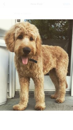 doodle doodle GoldenDoodle groomed<br> In this article, we will be discussing Goldendoodle grooming. We will outline the most important steps on how to groom a Goldendoodle, and we will even touch a little bit on Goldendoodle grooming styles. Goldendoodle Grooming, Puppy Grooming, Mini Goldendoodle, Goldendoodles, Labradoodles, Whoodle Dog, Standard Goldendoodle, Goldendoodle Haircuts, Dog Haircuts