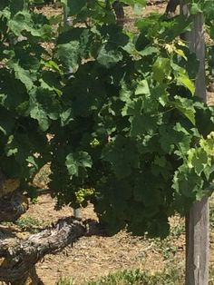 Vines in the Loire