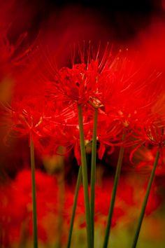 Red Spider Lily, Lily Wallpaper, Red