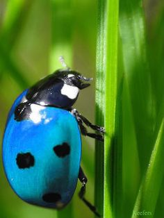 Blue lady bug!!? For real!!?
