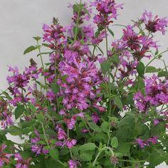 Sunrise® Violet Agastache Plants produce beautiful violet colored flowers on upright spikes that are held above mounds of green foliage. Flowers continuously from early spring until the first fall frost. Hummingbird mint grows best in full sun locations with well drained soils. The fragrant foliage attracts butterflies, bees and hummingbirds. Deer and rabbits tend to avoid this plant. Phlox Plant, How To Attract Hummingbirds, Attracting Hummingbirds, Tall Phlox, Bee Hummingbird, Butterfly Bush, Plant Sale, Perennials, Perennial