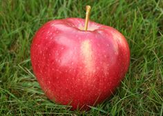 Mollies Delicious as the name implies has many similarities to Red Delicious. Size is larger and color is less red. However, the shape and flavor is very similar. Season Length: August