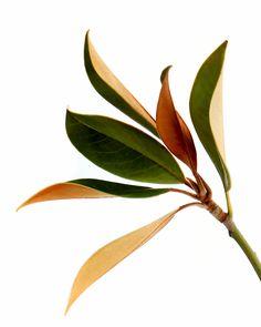 magnolia (mary jo hoffman)