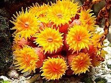 Feeding Saltwater Aquarium Corals: Sunflower Coral