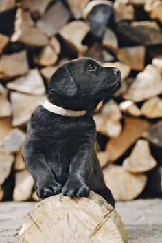 Mind Blowing Facts About Labrador Retrievers And Ideas. Amazing Facts About Labrador Retrievers And Ideas. Black Lab Puppies, Cute Puppies, Dogs And Puppies, Pet Dogs, Dog Cat, Baby Animals, Cute Animals, Labrador Retriever Dog, Outdoor Dog