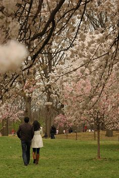 A couple strolls amongst cherry blossoms at Branch Brook Park in Newark, N.J. on Sunday March 25, 2012. Warm weather has caused the cherry blossom trees in Branch Brook Park to bloom early this year.
