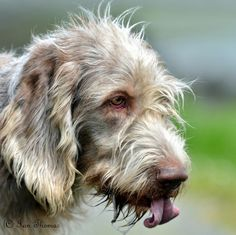 Irish Wolfhound photo | Recent Photos The Commons Getty Collection Galleries World Map App ... World Map App, Irish Wolfhound, Galleries, Friends, Dogs, Photos, Animals, Collection, Amigos