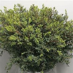 <p> EUCALYPTUS PARVIFOLIA is available at wholesale prices & direct UK delivery. Approx. 70cm and wholesaled in Batches of 5 bunches.</p>