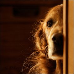 I don't know of a sweeter face than that of a Golden Retriever when they see their person...