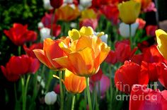 http://fineartamerica.com/featured/tulips-in-the-spring-nava-thompson.html